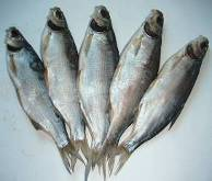 drying of fish processing