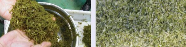 Slicer seaweed